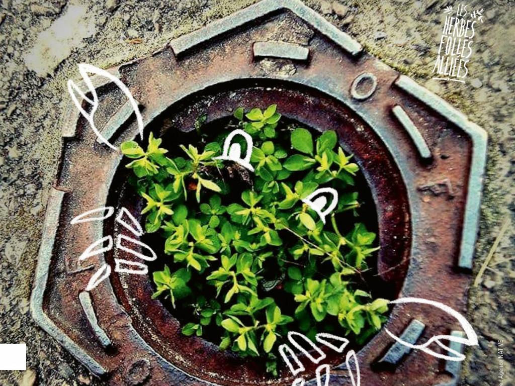 Zéro phyto : place aux herbes folles alliées