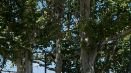Quai Sarrail et cours d'Herbouville, la Métropole prend soin des platanes