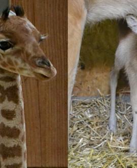 Naissances au zoo de Lyon