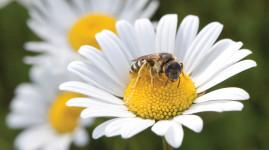 Les abeilles sauvages prennent leurs quartiers dans la Métropole